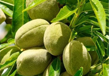 almond-ingredient-m03-11