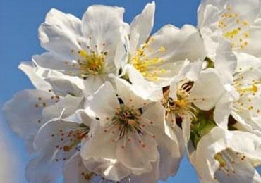 cherry-blossom-ingredient-m03-11