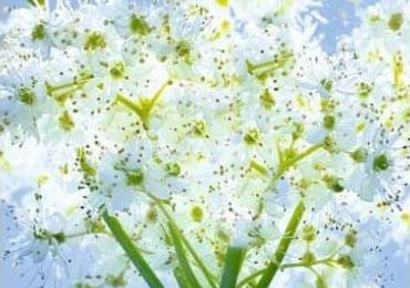meadowsweet-ingredient-m03-11